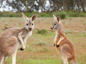 canguros-australia-curso-trimestre